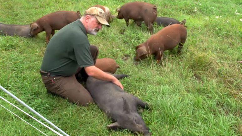 Hvordan skolde gris